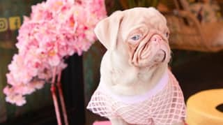 Rare Pink Pug Finds Online Fame With 55,000 Followers On Instagram