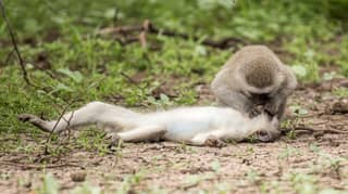 Incredible Photo Captures Moment Monkey Appears To Give Mouth-To-Mouth To Pal