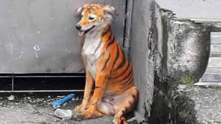 Stray Dog Found Painted Black And Orange Like A Tiger
