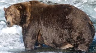 Bear Called 747 Has Been Crowned America's Fattest Bear For 2020