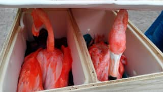 One Dead And Five Seriously Unwell Flamingos Discovered In Boxes At Airport