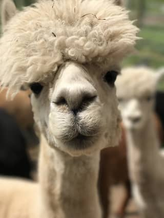 There's An Alpaca Airbnb In The Slieve Bloom Mountains