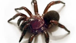 New Group Of Trapdoor Spiders Discovered In Australia Who Are Experts In Camouflage