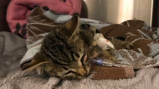 RSPCA Appeal For Witnesses After Kitten Is Thrown From Moving Car