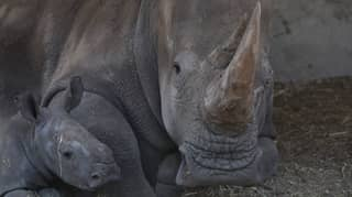 Endangered White Rhinos Will Be Shipped To Australia In Case They Become Extinct In Africa