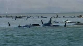 Nearly 100 Whales Have Died After Being Stuck On A Sandbar Off Tasmania