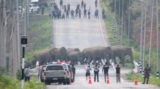 Herd Of 50 Elephants Filmed Calmly Crossing The Road In Thailand