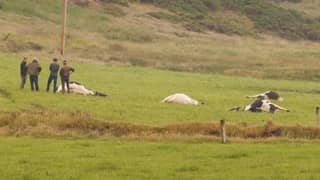 Lightning Strike Kills Nine Cows In Irish Field