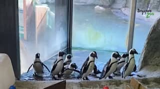 Penguins Taken On Walks Around Empty Zoo And Given Their Very Own Obstacle Course