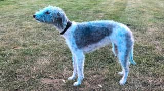 Dog Left Bright Blue For Days After Rolling Around In Paint