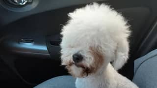 Dog Left Looking Like Alpaca After Snapping At Groomer During Fur Cut