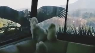 Huge Bird Eyes Up Pet Dogs Through Window After Streets Left Empty Due To Lockdown