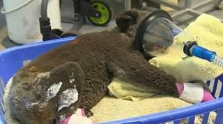 Hundreds Of Koalas Have Been 'Incinerated' In Horror Bushfires