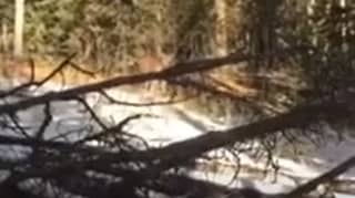 Lone Hunter Shoots After Coming Face-To-Face With Mountain Lion