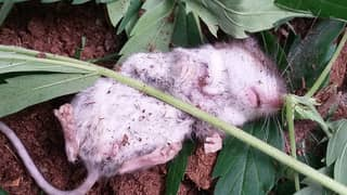 Adorable Mouse 'Passes Out' After Munching On Cannabis Leaves