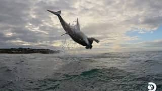 Great White Shark Soars 15ft In The Air, The Highest Ever Seen