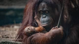 Chester Zoo Keepers Surprised As Rare Orangutan Born Without Any Warning