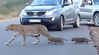 Leopard Mother Crossing Road With Her Two Cubs Caught On Camera
