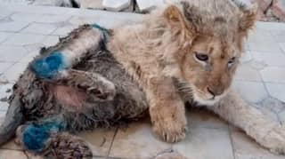 Lion Has Legs Deliberately Broken So It Can't Run Away From Tourists