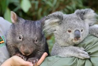A Wombat And Koala Have Become Best Friends During Isolation