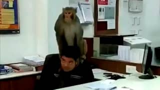 Monkey Wanders Into Bank, Sits On Employee's Head And Humps It