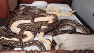 Man Charged After 20 Burmese Pythons Found Roaming Around His House