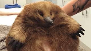 Massive Echidna Found After Being Clipped By A Car In Tasmania