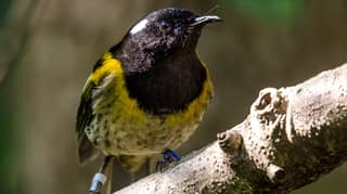 Bird With 'Unusually Large Testicles' Could Win New Zealand's Bird Of The Year