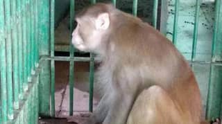 Aggressive Alcoholic Monkey Now Behind Bars For Rest Of Its Life