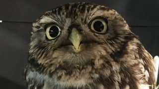 'Injured' Owl Rescued From Ditch Was Just Too Fat To Fly