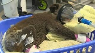 More Than 61,000 Koalas Killed, Injured Or Affected By Black Summer Bushfires