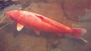 ​The World's Oldest Koi Fish Was 226 Years Old