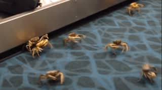 Live Crabs Escape And Cause Chaos At Airport In The Bahamas