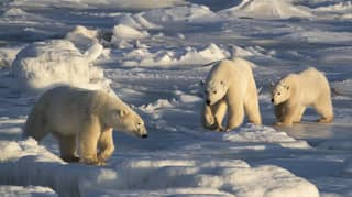 Cannibalism Among Polar Bears Is On The Rise, Scientist Says