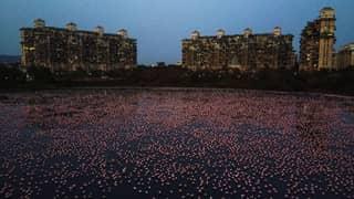 Thousands Of Flamingos Have Turned Mumbai Pink During Lockdown