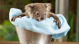 Newborn Koala Joeys Look Adorable While Getting Their First Checkup