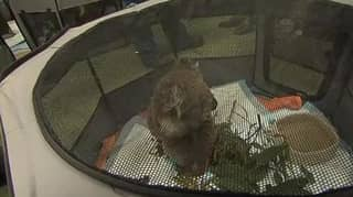 Makeshift Rescue Centre Built In School To Save Koalas From Bushfires