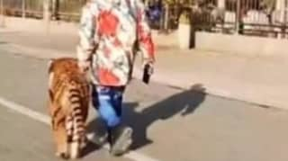 'Tiger' Spotted Turns Out To Be Pet Dog That Has Been Dyed