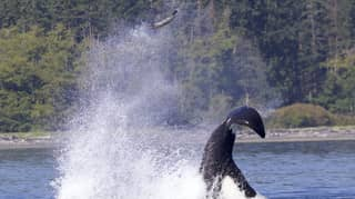 Photos Capture Moment Whale Flings Seal High Into The Air