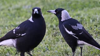 Officials Order The Death Of Two Magpies For Injuring Loads of Aussies