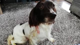 Thieves Hack Microchip From Dog's Neck And Run Off With Her Puppies