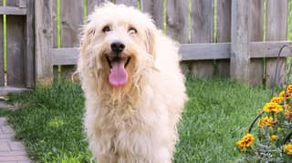 Man Who Invented The Labradoodle Says It's His 'Life Regret'