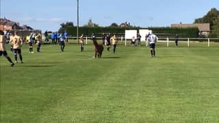 Football Match In West Yorkshire Halted After Alpaca Invades The Pitch