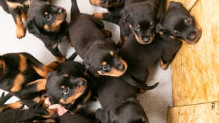 Rottweiler Gives Birth To Whopping Litter Of 16 Puppies