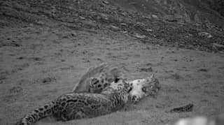 Hidden Camera Captures Snow Leopard Mum And Cub Playing Together