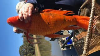 Fisherman Catches 9lb 'Goldfish' 15 Times The Average Size In Lake