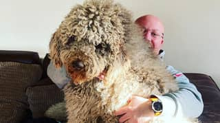 Six-Foot Tall Newfoundland Poodle Still Thinks He's A Lapdog Despite Towering Over Family