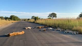Lions Pictured Napping On South African Roads During Coronavirus Lockdown