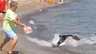Wild Boar Swims To Beach Shore And Scares Sunbathers