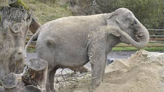 Charities Say 'Britain's Loneliest Elephant' Needs To Be With Other Elephants